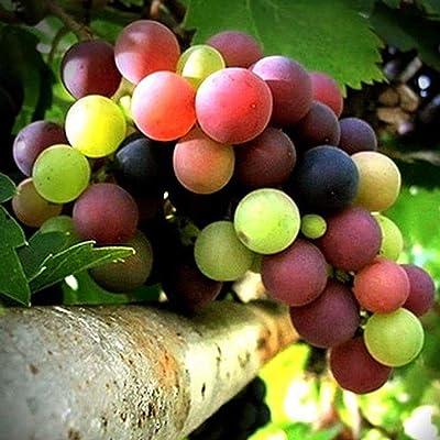 Vpicuo 50Pcs Colorful Grape Seeds Delicious Fruit Perennial Courtyard Garden Plants Fruits : Garden & Outdoor