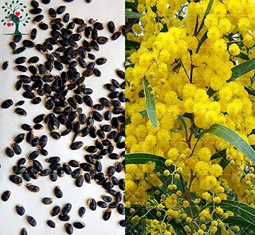 (Bonsai Tree Suaveolen Tree Ents 20PCS Golden Mimosa Acacia Baileyana Yellow Wattle Tree Bonsai Flower Aromatic Plant Decorative Home)