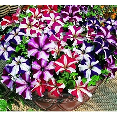 75 Seeds Petunia Seeds, Star Mix, Multiflora Petunia Seeds, Hanging Baskets Non-GMO, 75ct : Garden & Outdoor