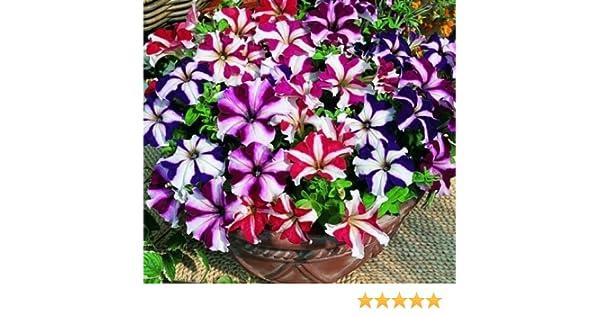 75ct Star Mix Multiflora Petunia Seeds Petunia Seeds Hanging Baskets Non-Gmo