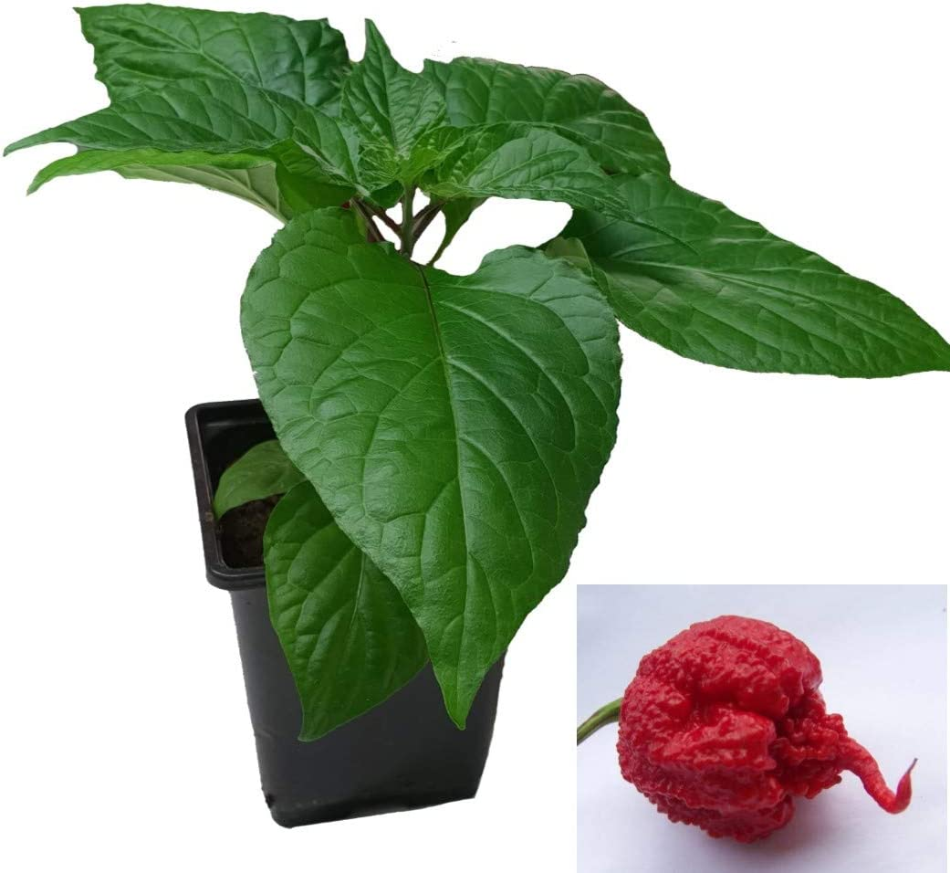 Ready to Pot up Carolina Reaper Red Chilli Plants in 9cm Pots
