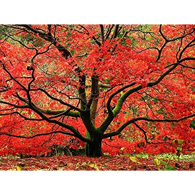 Red Japanese Maple Tree - Live Plant Shipped 1 Foot Tall by DAS Farms (No California) : Maple Trees : Garden & Outdoor