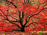 Japanese Red Maple Tree - Live Plant Shipped 1-2 Feet Tall (No California)
