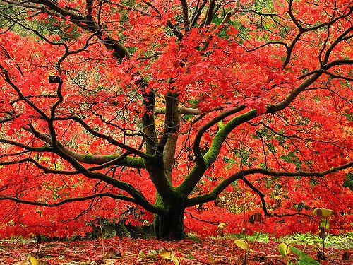 Japanese Red Maple Tree - Live Plant - Shipped Over 2 Feet Tall (No California) (Maple Tree Red)