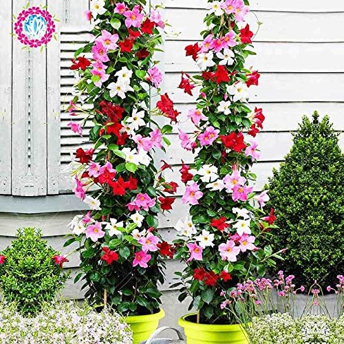 50 Pcs sac Rare Dipladenia Sanderi Graines vivaces Escalade Mandevilla Sanderi fleurs en plein air dornement Bonsai Plant Garden 7