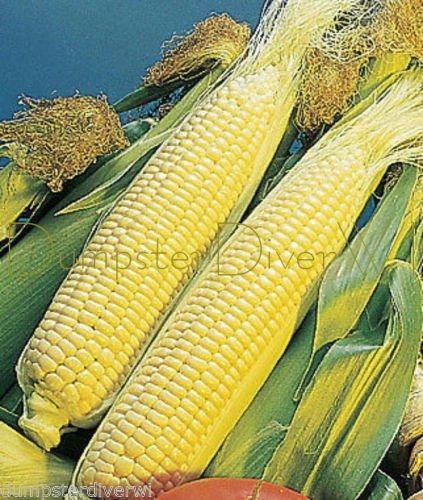 Vegetable Seeds - 35 Seeds of Golden Cross Bantam SWEET Hybrid CORN Late Season ORGANIC NON GMO