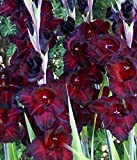 (10) Giant Flowering Black Sea Gladiolus Bulbs ,Plant, Bulb, Root, Sword Lily, Gladioli