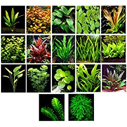 50 Live Aquarium Plants / 17 Different Kinds - Amazon Swords, Anubias, Java Fern, Java Moss, Ludwigia and more! Great plant sampler for 40-45 gal. tanks.