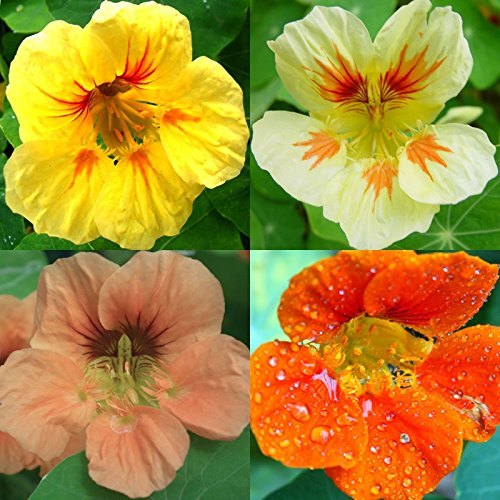 100 NASTURTIUM SEEDS TOM THUMB MIX Dwarf Flowers Bright Blooms Pots Easy edible
