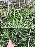 "Calathea zebrina (Zebra Plant) 6"" Pot"