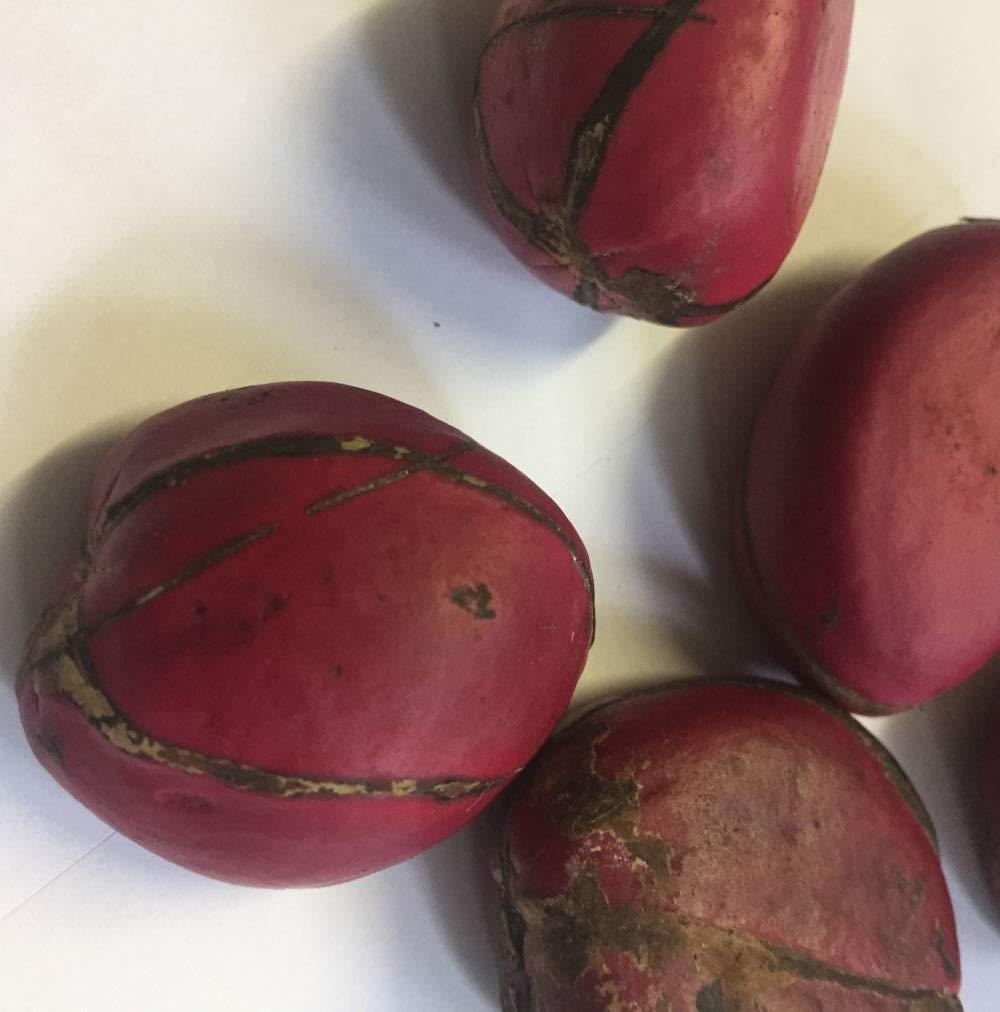 Asklepios-seeds Cola nitida, 5 fresh seeds, Kola nut, Cola Nut, VERY RARE VIABLE SEEDS