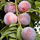 Methley Plum Tree Semi-Dwarf - Healthy - Established - One Gallon Potted - 1 each by Growers Solution