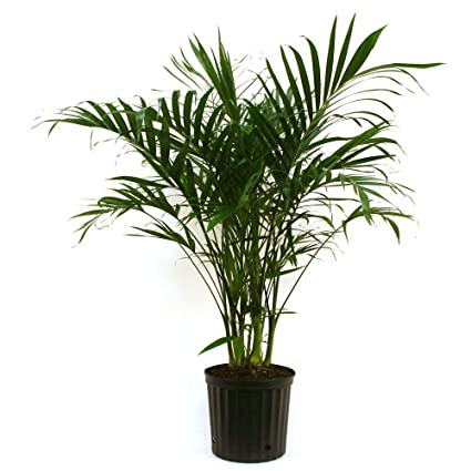 Palm In Pot.Amazon Com Delray Plants Cateracterum Palm In 9 1 4 In
