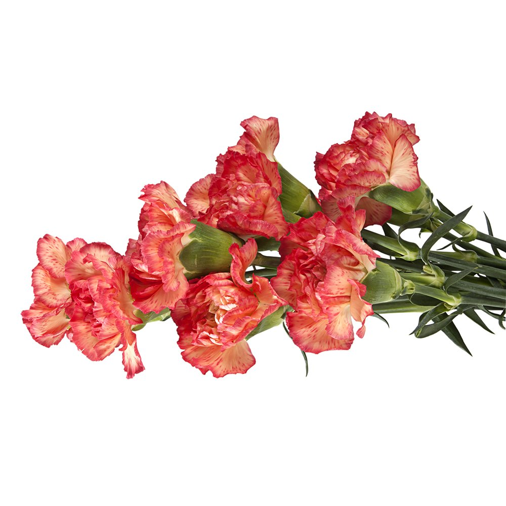 Wholesale Carnations (150 Bicolor Pink) by BFFlowers.com (Image #2)