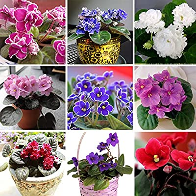 100 PCS 24 Colors Violet Seeds, african violet seeds, Garden potted Plants Violet Flowers Perennial Herb Matthiola Incana Seed mixed : Garden & Outdoor