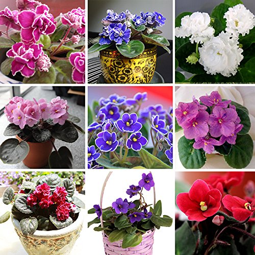 100 PCS 24 Colors Violet Seeds, african violet seeds, Garden potted Plants Violet Flowers Perennial Herb Matthiola Incana Seed mixed