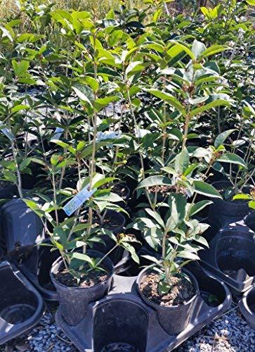 Fragrant Tea Olive (Osmanthus) - Live Plant - Trade Gallon Pot