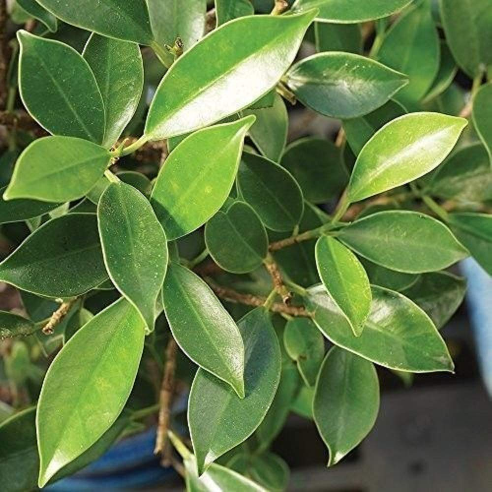 Ficus Bonsai Tree Plant Golden Gate Tropical Indoor Houseplant Best Gift 20 Year Plant A6 by owzoneplant (Image #3)