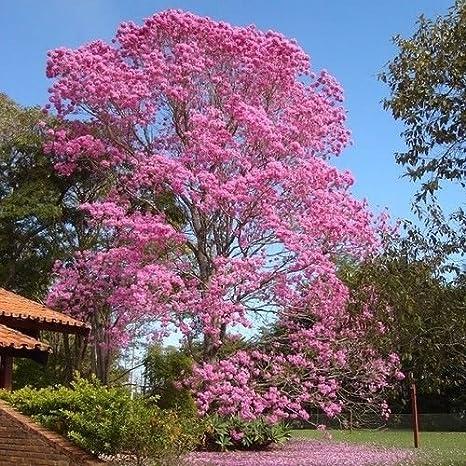 Amazon Pink Trumpet Tree Seeds Tabebuia Rosea 15seeds