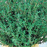 Thyme Common Great Garden Herb By Seed Kingdom BULK 1 Lb Seeds