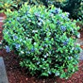 "Blueberry Plants ""Top Hat"" Includes (4) Four Plants"
