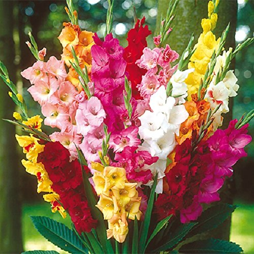 Gladiolus Mix - Bright Mix Gladiolus Corms (25 Bulbs) Now Shipping !