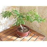 Operculicarya decaryi Plant