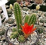 Echinopsis chamaecereus Peanut Cactus Cacti Succulent Real Live Plant