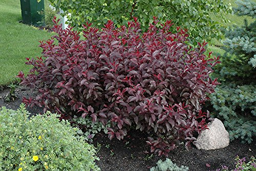 1 Cistena Plum Shrub-Tree-Bush (Purple Leaf Sand Cherry Plant)