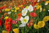 Iceland Poppy 500 seeds Beautiful Mix of Colorful Showy Blooms