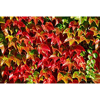 100 Seeds Boston Ivy Vine Virginia creeper Parthenocissus tricuspidata Climbing : Garden & Outdoor