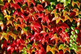 100 Seeds Boston Ivy Vine Virginia creeper Parthenocissus tricuspidata Climbing