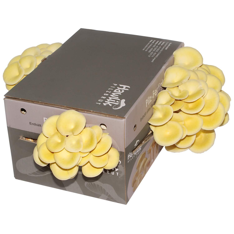 Limonenpilzkultur- Pilze zum selber züchten - ohne Vorkenntnisse- kinderleicht von Zuhause Hawlik Pilzbrut GmbH