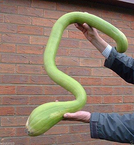(25 Climbing Zucchini,Trombocino, Zucchetta Rampicante, Italian Trombone Squash)