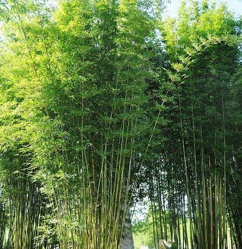 Bamboo Dwarf Multiplex Hedge - Live Plant - 3 Gallon Pot by New Life Nursery & Garden