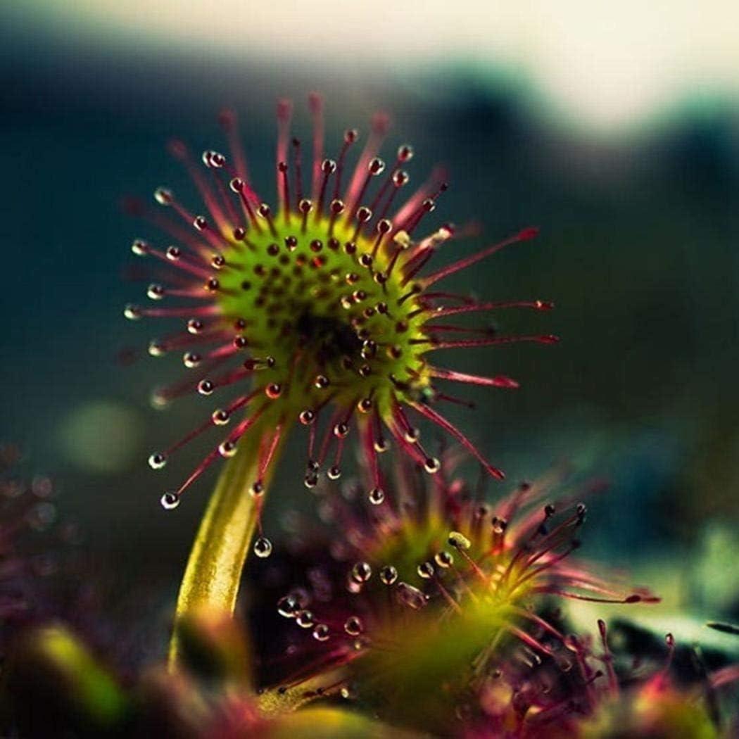 FarmenSamen Rare Venus Fliegenfalle Seed Carnivorous Plant Seed Dionaea muscipula Seeds Fliegenfalle Seeds Hardy