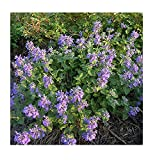 David's Garden Seeds Herb Catmint SL2921 (Purple) 500 Non-GMO, Open Pollinated Seeds
