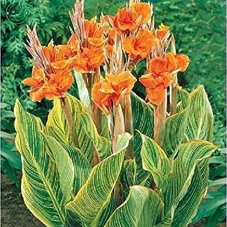 Graines De Canna Belles Graines De Fleurs Orange Canna Indica Lily