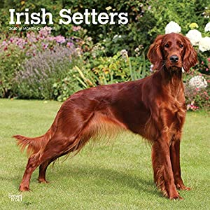 Irish Setters 2020 12 x 12 Inch Monthly Square Wall Calendar, Animals Irish Dog Breeds 4