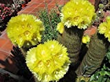Parodia Leninghuasii cactus 10 seeds~Echinocactus~Lemon Golden Ball~Yellow Tower