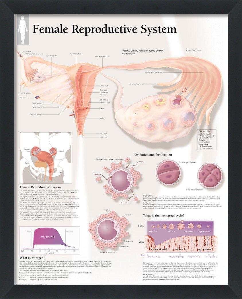 Set Of 4 Framed Medical Posters Female Reproductive System Pregnancy