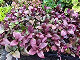 "Shoppy Star Germination Seeds: ALTERNANTHERA - Ruby - 2 Live Plants - 4"" POTS"