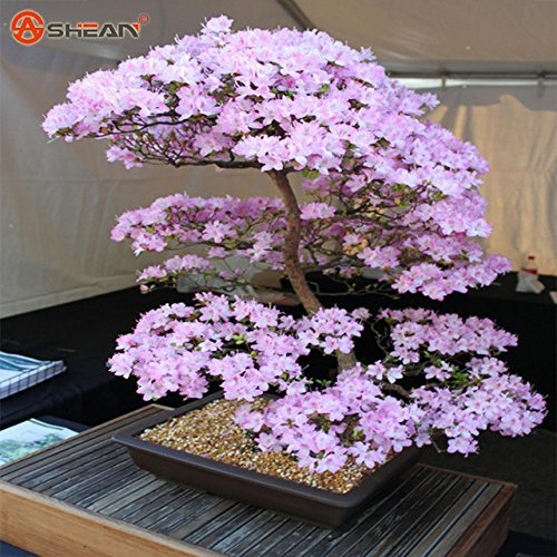 Hot Sale! Japanese Sakura Seeds Bonsai Flower Cherry Blossoms Cherry Tree Ornamental Plant 10 Particles / lot