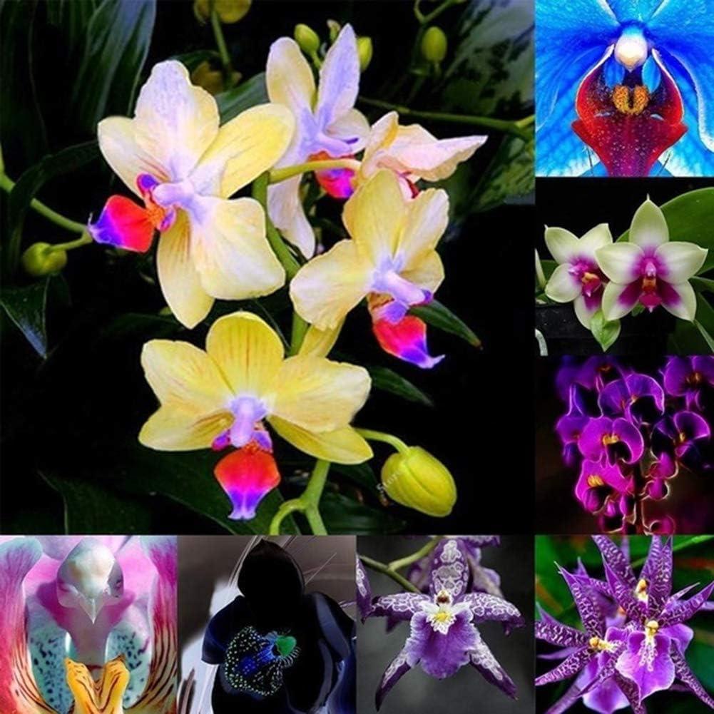 lamta1k 150 Unids Color Mezclado Semillas de Orquídeas Bonsai Ornamentales de Alto índice de Supervivencia Flor Home Garden Decor - Semillas de Orquídeas