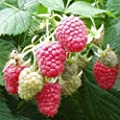 2 Joan J Raspberry Plants-Everbearing, Thornless (2 Lrg 2 Yrs Bare root Canes)