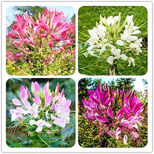 Mezcla: Cleome Spinosa Semillas 30 Unids/bolsa Jardín Bonsai Semillas de flores Cleome Spinosa Jacq Flores Plantas Diy Home Garden Plantación: Amazon.es: Jardín