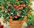 Der Bestseller 20 orange seeds dwarf Bonsai Mandarin Orange Seeds Edible Fruit tree for home garden