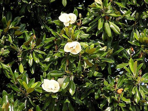 DriedDecor.com Magnolia Leaves Bulk 2lb Box