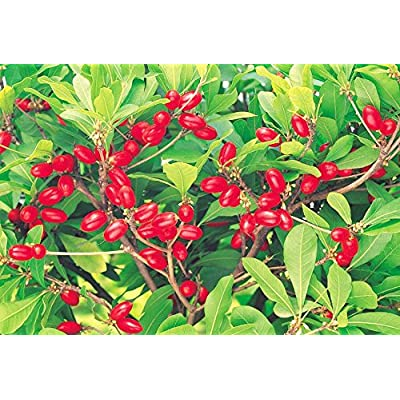 MIRACLE FRUIT Synsepalum dulcificum rare exotic sweet berry edible seed 7 SEEDS : Garden & Outdoor