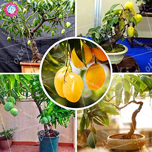 Wanchen Mango Delicious Fruit Bonsai Tree Perennial Indoor Subtropocics For Home Garden Pot Plant Easy Grow 2pcs Seeds Not Plants Buy Online In El Salvador At Elsalvador Desertcart Com Productid 116476553